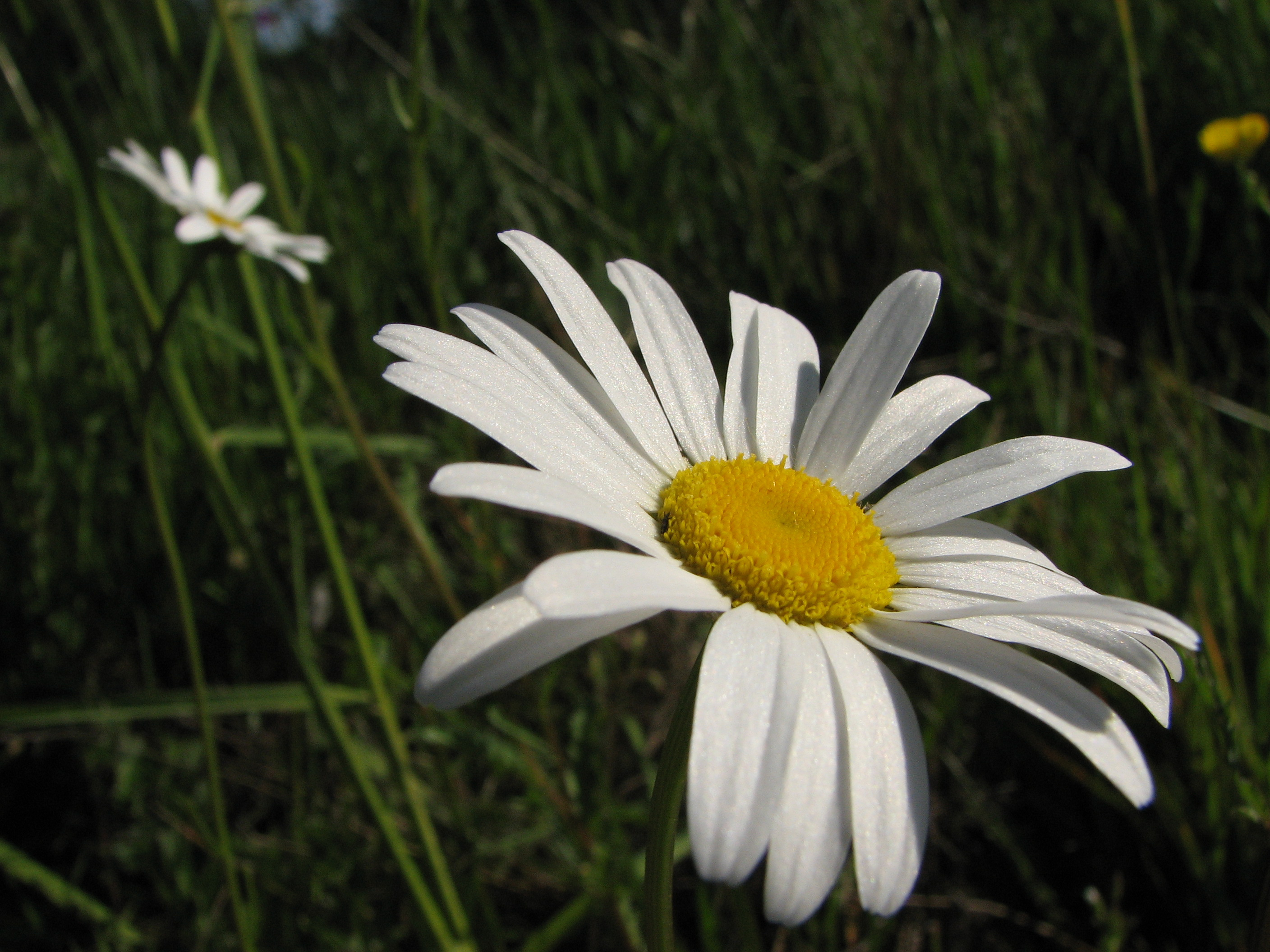 The symbolism of a daisy flower jaima company daisy flower izmirmasajfo