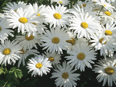 meaning of daisy flower archives  jaima company, Natural flower